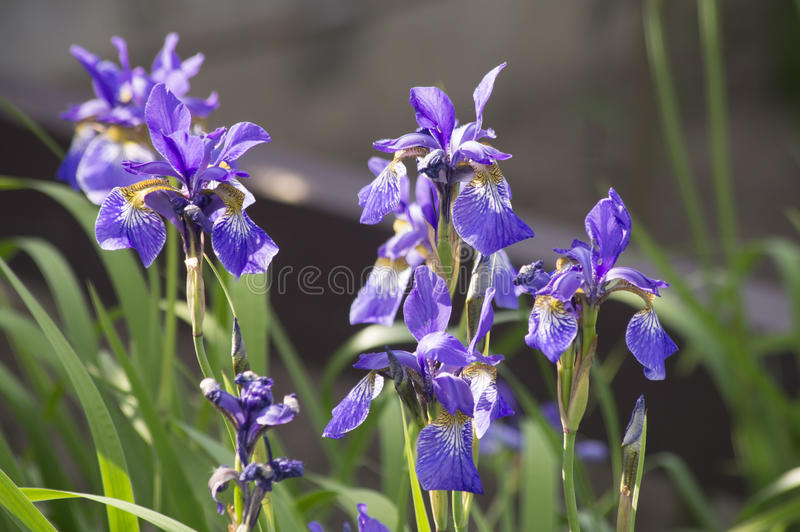 Iris germanica stockfotografie