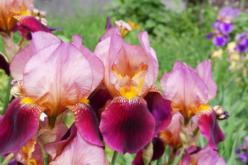 Iris Germanica Ambassadeur bearded iris flower with dark velvety-maroon bloom royalty free stock photography