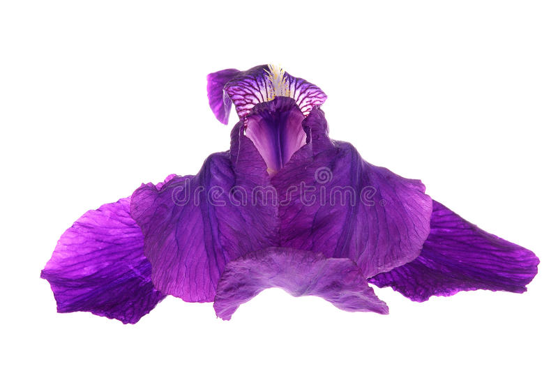 (Iris germanica) royalty free stock image