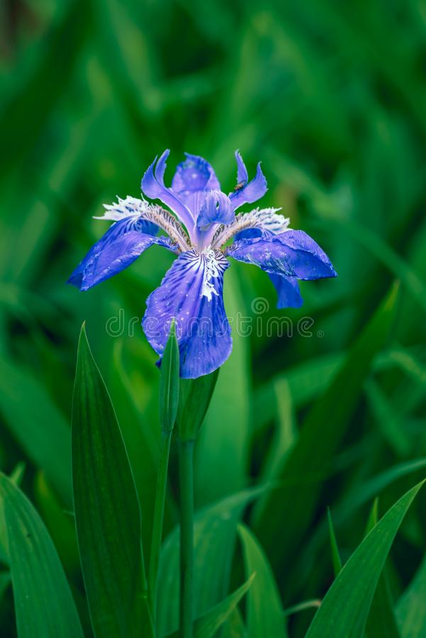 Iris germanica L. Iris is large and beautiful, its leaves are green and green, and its ornamental value is very high. Many kinds are used for garden ornamental stock photography
