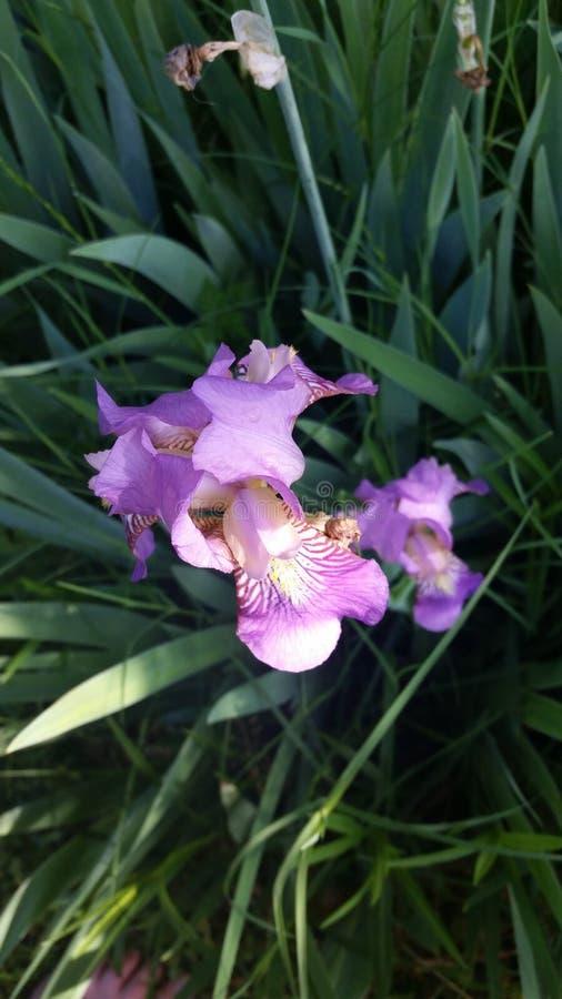Iris gift stock photos