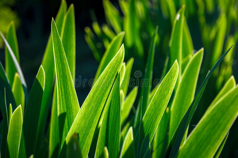 Iris Green Leaves royaltyfria bilder
