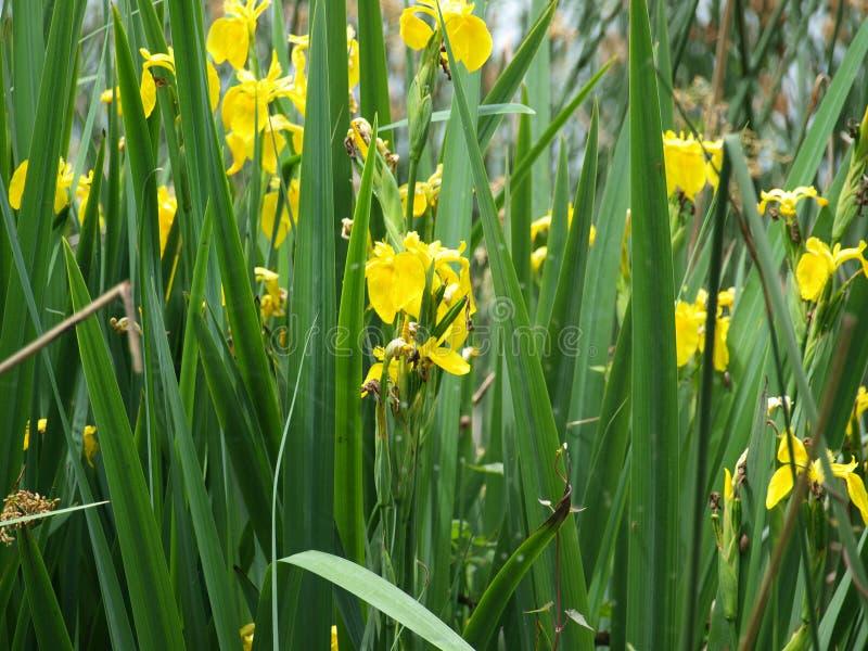 Iris Grows Lakeside salvaje fotografía de archivo