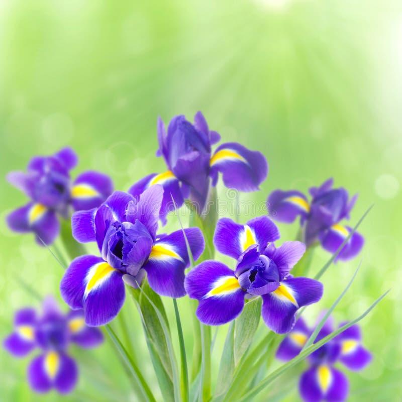 Iris hermosos en un fondo verde en la luz del sol y el bokeh imagenes de archivo