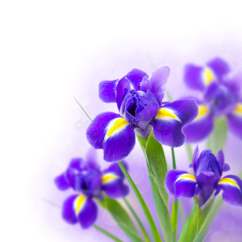 Iris hermosos en un fondo y un bokeh blancos imagen de archivo