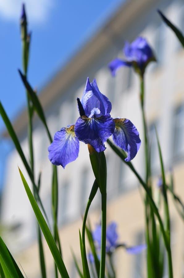 Iris i hjärtan av bilden royaltyfria foton