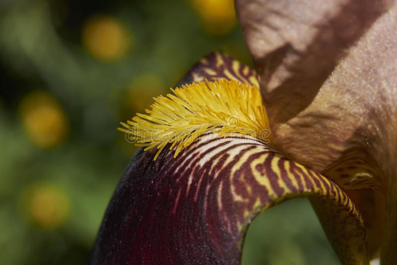 Iris ibrida flower close up royalty free stock photography