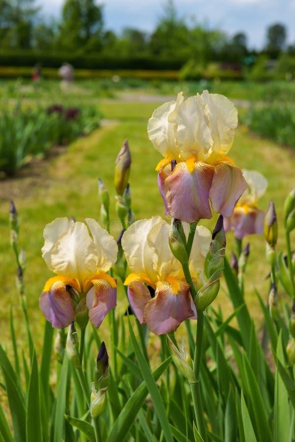 Iris Iris L , bloemen in tuin stock afbeeldingen