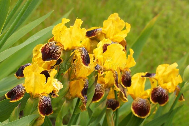 Iris Iris L , fleurs dans le jardin image libre de droits