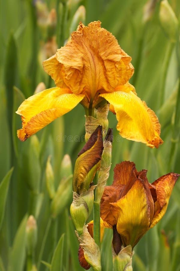Iris Iris L , fleurs dans le jardin photographie stock