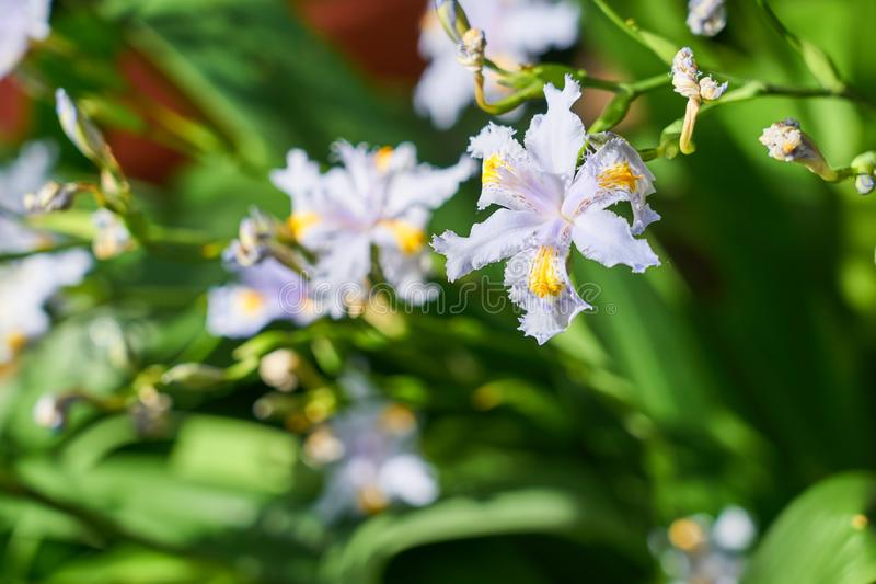 Iris japonica -  japanese spring flower with blurred background. stock photos
