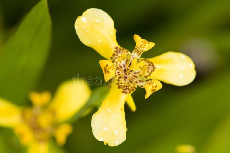 Iris jaune photo libre de droits
