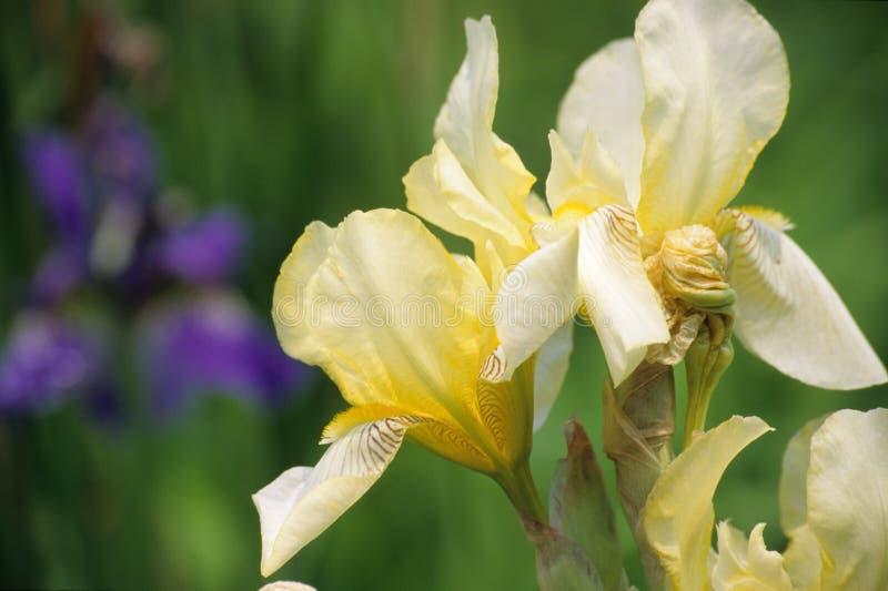 Iris jaune images stock