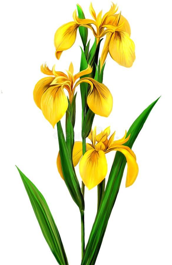 Iris jaune, images stock