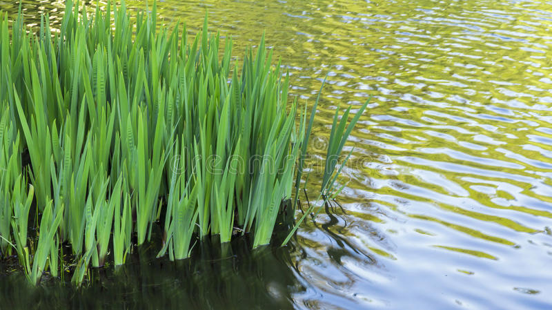 Iris Leaves in a Rippling Pond with Copy Space. Flag Irises leafing out in a peaceful pond stock photo