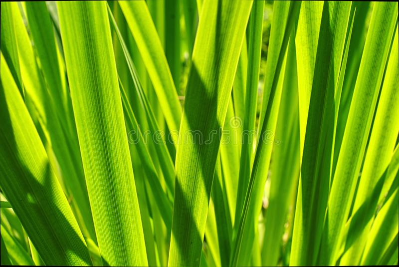Green iris leaves in sun shine stock photo