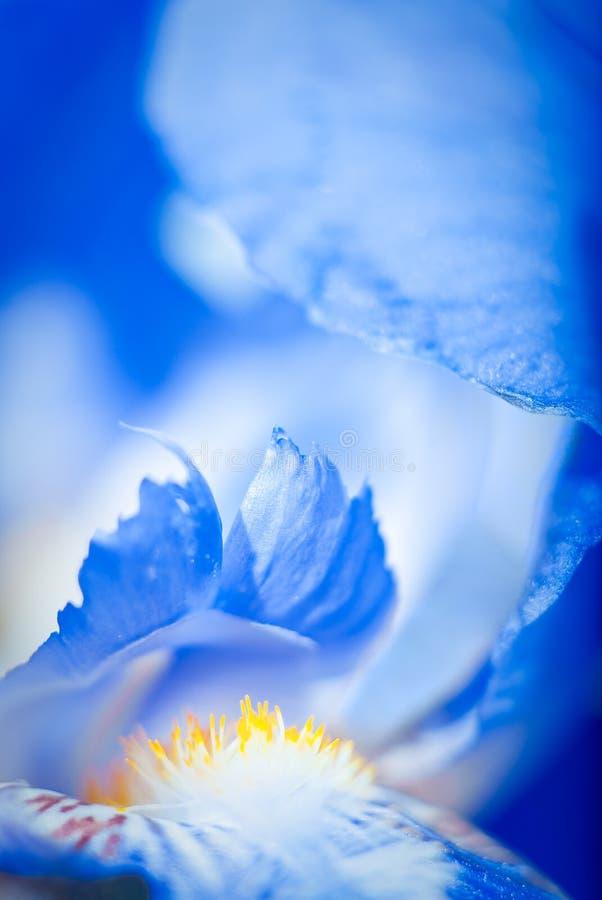 Iris macro. Macro image of a blue iris