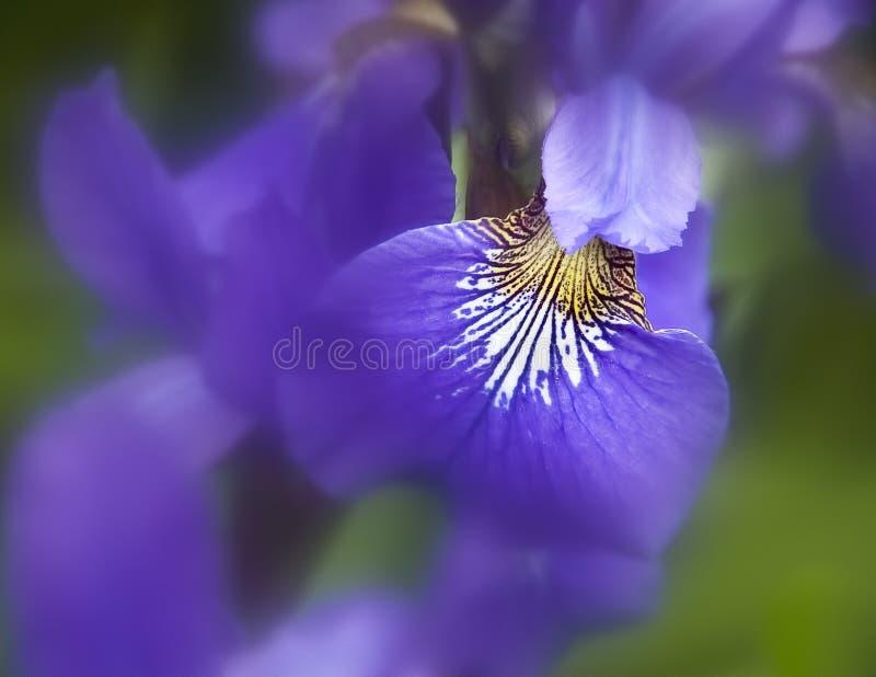 Iris meine schöne Frühlingsblume, was Sie wünschen lizenzfreies stockfoto