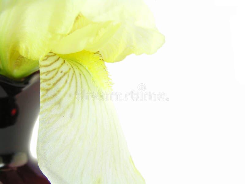Iris Met Rode Vaassamenvatting Stock Afbeelding