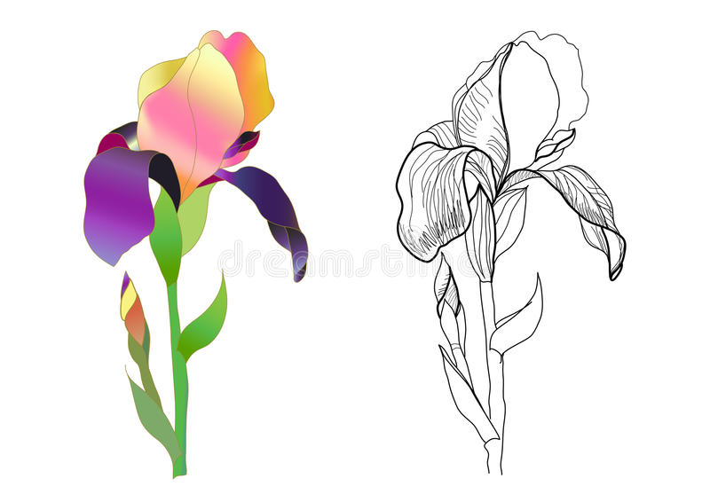 Iris monochrome et coloré illustration stock
