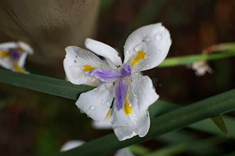 Iris na regen royalty-vrije stock afbeeldingen