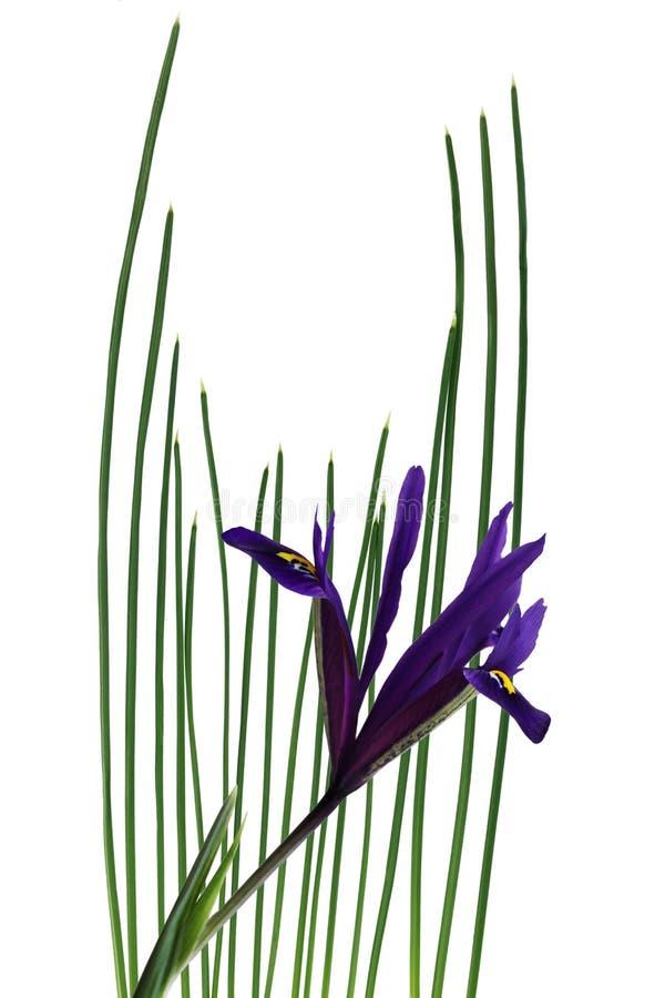 Iris nain image libre de droits