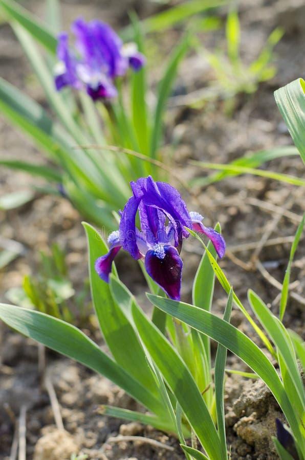 Iris nain pourpre photos libres de droits