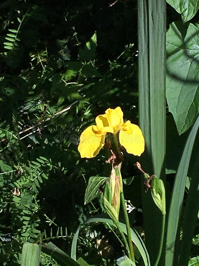 Iris nativo imagen de archivo libre de regalías