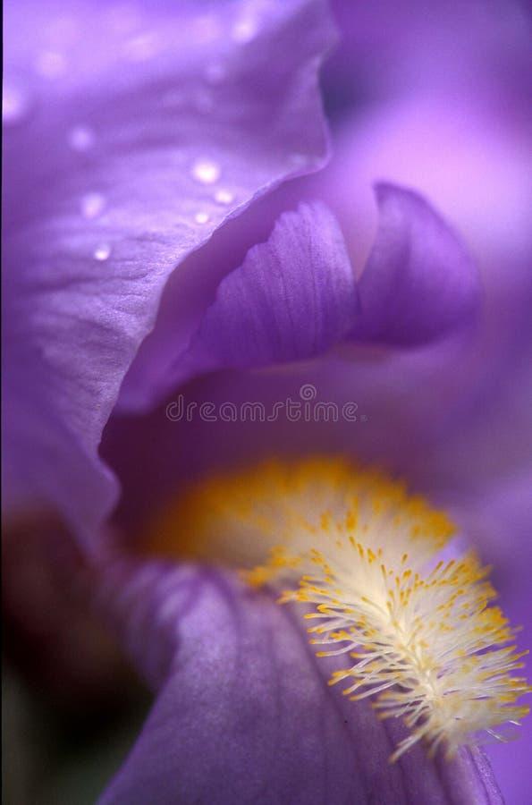iris niebieskiej flagę zdjęcie royalty free