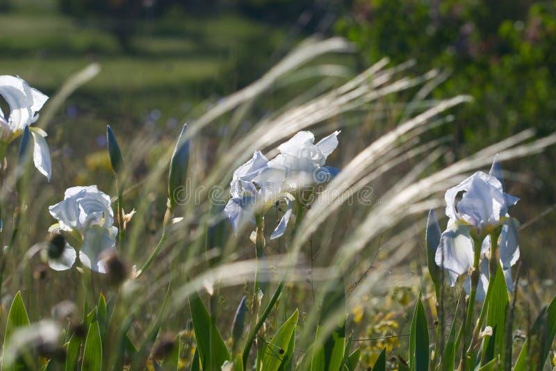 Iris och fjäder i försiktigt morgonsolljus arkivfoton