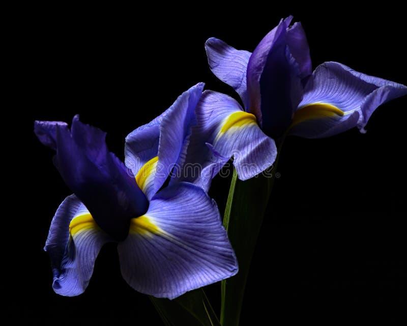Iris Pair images stock