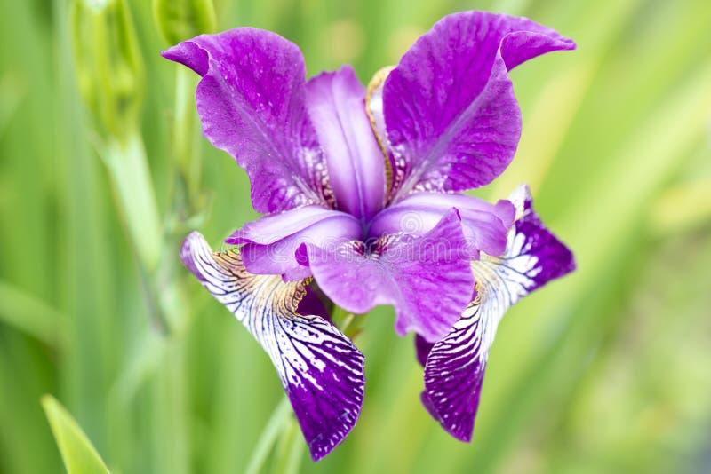 Iris. Pink and violett varied colored iris royalty free stock photos
