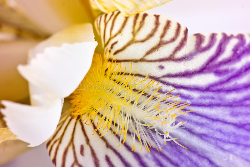Iris. Plant iris closeup isolated on white background stock photos