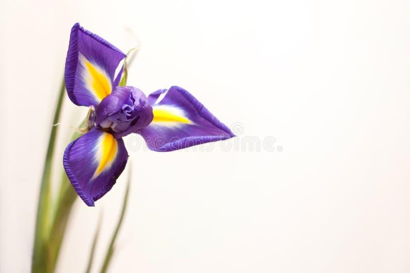 Iris pourpré photos stock