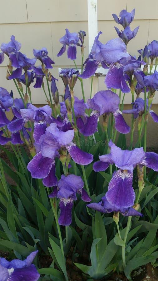 Iris pourpre photo stock