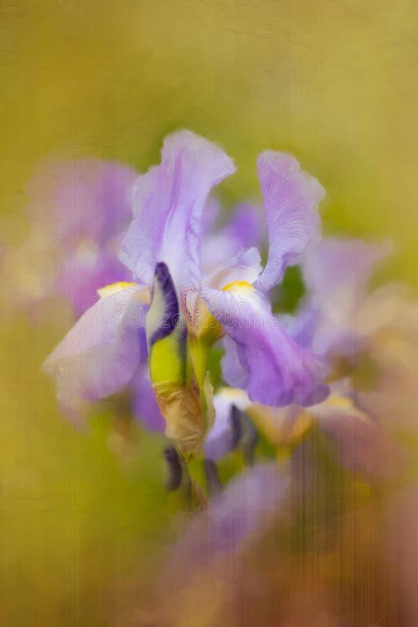 Iris pourpre avec l'effet painterly photographie stock libre de droits