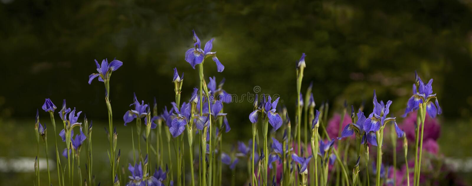 Iris pourpre pendant l'été photos stock