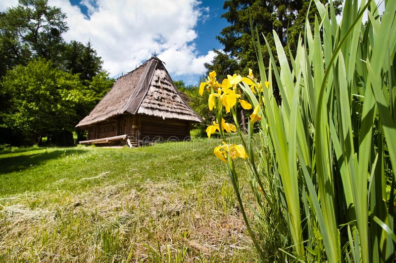 Iris pseudacorus, beautiful yellow flowers in a yard with mowed grass, traditional Ukrainian old wooden house with thatched roof stock photos