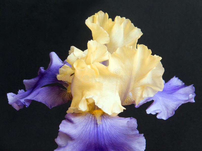 Iris in Purple and Yellow. Purple and yellow hybrid Iris in full Spring bloom stock photography