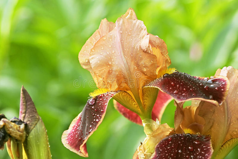 Iris after rain royalty free stock images