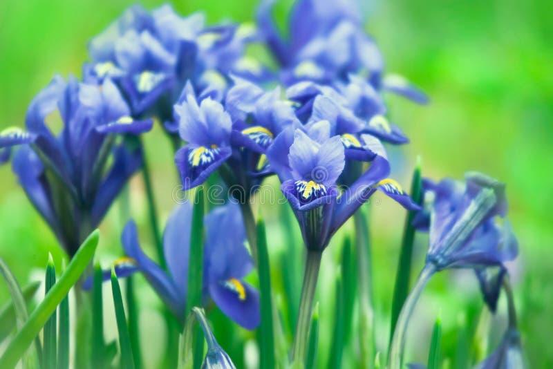 Iris reticulata stock image
