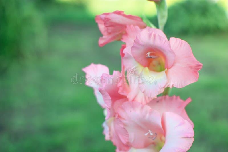 Iris rosado en la hierba verde 3 foto de archivo libre de regalías