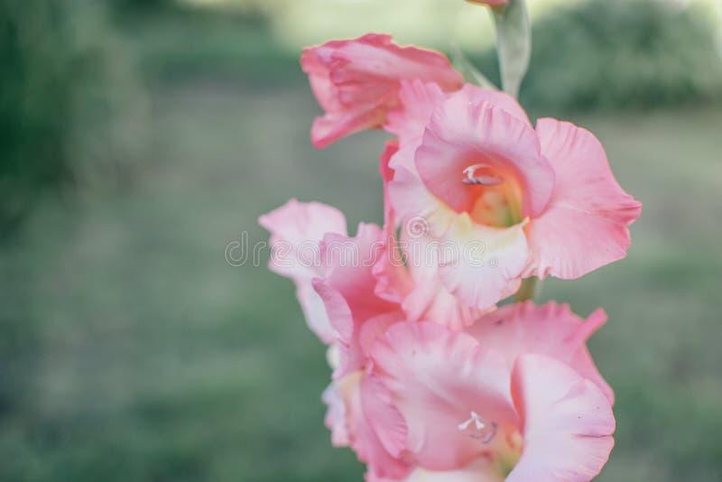 Iris rosado en la hierba verde 4 fotografía de archivo