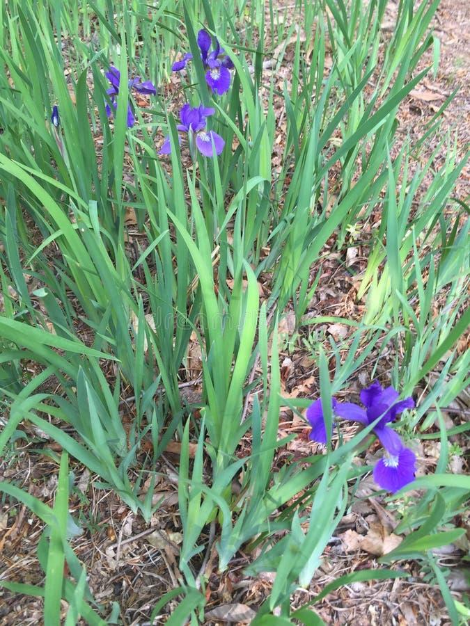 Iris sauvage dedans image libre de droits