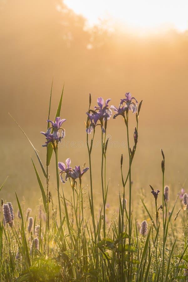 Iris Sibirica στοκ φωτογραφίες με δικαίωμα ελεύθερης χρήσης