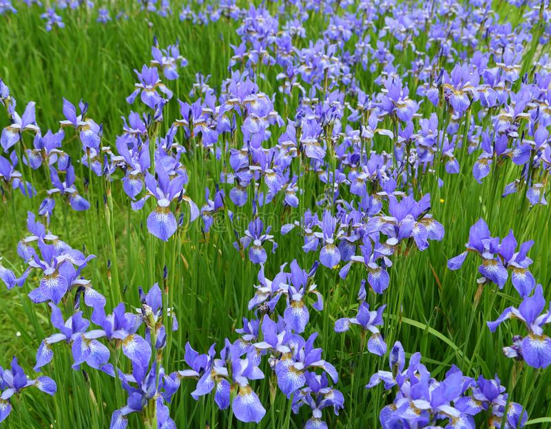 Iris sibirica. Beautiful blue flowers of Siberian iris. Iris sibirica blooming in the meadow stock images