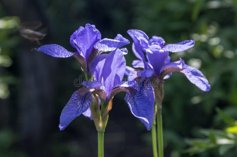 Iris sibirica in der Blüte, wilde Blumen stockbilder