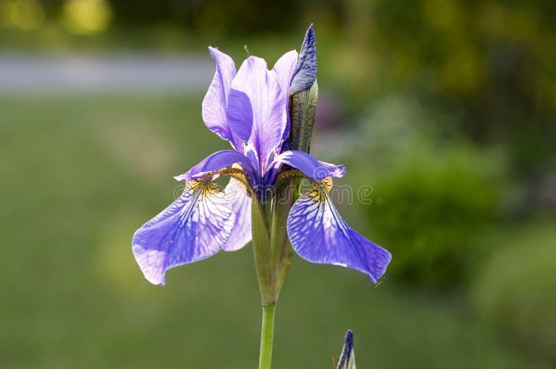 Iris sibirica in der Blüte, wilde Blumen lizenzfreie stockfotos