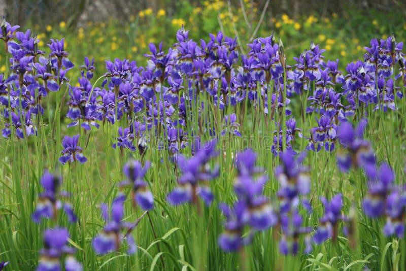 Iris sibirica stock photo