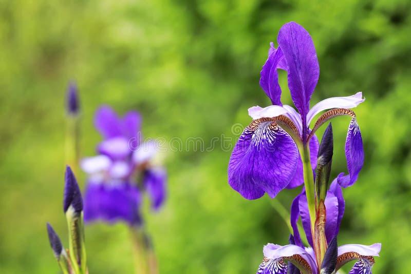 Iris sibirica Sibirian-Irisnahaufnahme in einer Gruppe mit grünem backg lizenzfreie stockfotos
